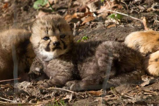 Tier- und Naturfotografie Pia von Steegen - Gepardeninfos